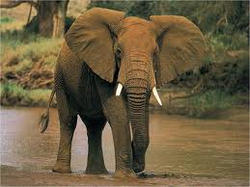 African Elephant - AMAZING ADAPTATIONS